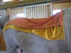 Equine Raindrop Technique Horse with Hot Compress