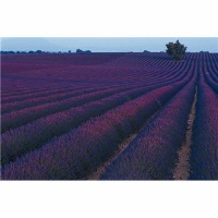 Lavender Field Small